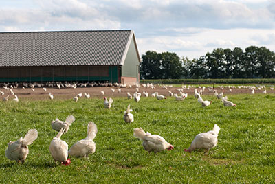 Pastured happy chickens